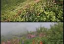 """「大山」も夏山のシーズン""""ユートピア小屋""""の花畑♪"""