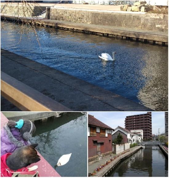 市街地の(旧)加茂川に珍客♪